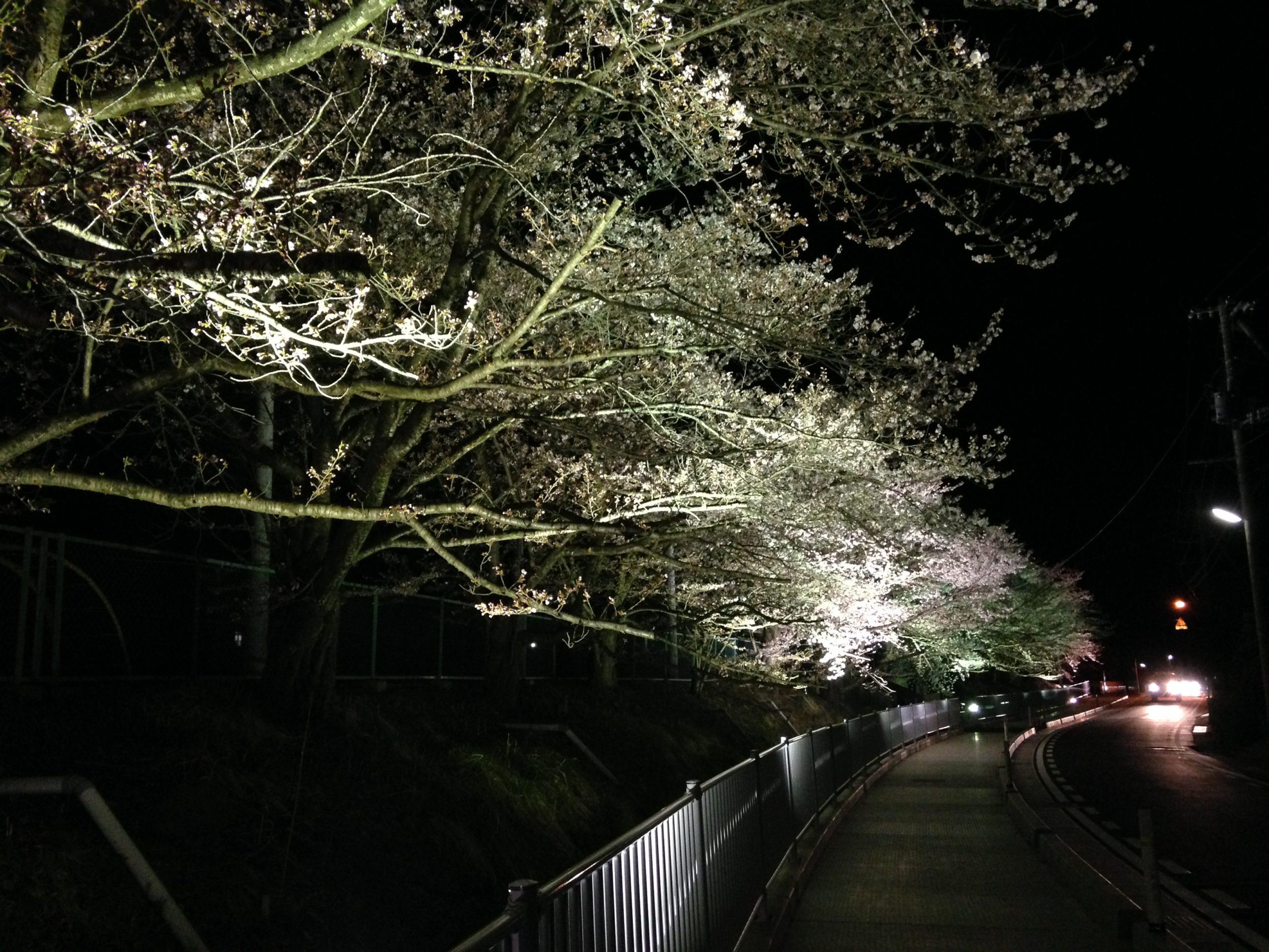 近くの桜の名所を紹介します